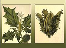 Hanaoka & Moonflowers