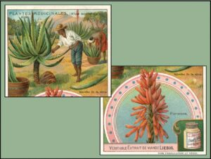 Taking Pains with Aloe for More than 35 Centuries: From Tightening Skin to Loosening Bowels